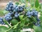 我基地大量供应A品树莓苗 双季树莓苗 草莓苗 黑加仑苗