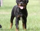 武汉纯种罗威纳价格 武汉哪里能买到纯种罗威纳犬