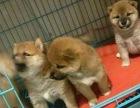 宠物店里的柴犬可以买吗 健不健康