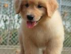 重庆哪里出售金毛犬 重庆宠物店信誉好