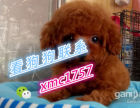 小型犬泰迪幼犬高品质可爱迷你泰迪宝宝爬季