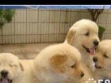 我家一窝小金毛幼犬转让,做好疫苗驱过虫,非常健康