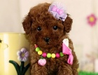重庆出售纯种泰迪贵宾犬泰迪幼犬娃娃脸大眼睛泰迪茶杯犬
