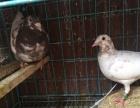 观赏鸽及血统鸽、高飞鸽出售