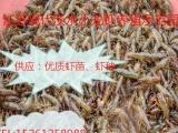江苏最大龙虾育种基地,**小龙虾苗,虾苗,种虾,提供养殖技术