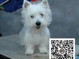 西高地犬纯正健康出售-幼犬出售,当地可以上门挑选