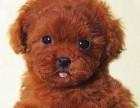 出售深红色超小体的泰迪犬 建议大家上门参观选购