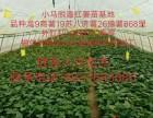 红薯苗价格脱毒红薯苗红薯苗批发