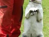 南京溧水專業訓練師訓練 訓狗不打罵 糾正壞習慣