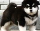 重庆阿拉斯加犬多少钱 重庆哪里出售阿拉斯加犬