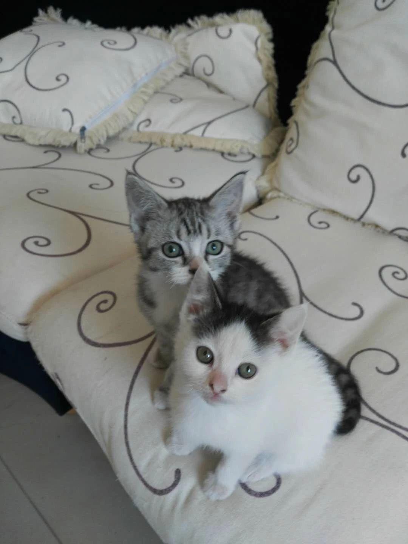 北京西城短毛猫小奶猫 健康可爱 生活自理