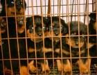 楚雄卖罗威纳楚雄买罗威纳楚雄狗场常年出售纯种罗威纳