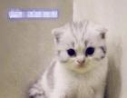 家庭繁育的梵纹折耳猫,3女2公,猫咪都是实物拍摄