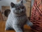 深圳哪里有蓝猫卖 蠢萌型 健康无廯送货上门 支持空运