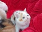 漂亮可爱的加菲猫出售