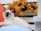 美国CFA认证猫舍 暹罗 优惠送不停