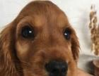 犬舍出售健康纯种可卡犬 公母都有疫苗做齐喜欢电话联系
