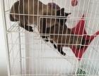 加菲猫暹罗猫低于市场价赶快选购