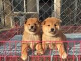 扬州里出售柴犬幼犬出售纯血统柴犬幼犬纯种柴犬柴犬图片