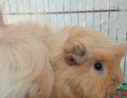 宠物荷兰猪豚鼠兔子仓鼠