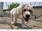 出售拉布拉多幼犬,赛级品质,保健康纯种,证书齐全