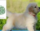 出售健康金毛幼犬 纯种公母齐全 可以做健康体检