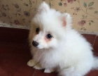 自家犬舍繁育纯血纯种日系银狐犬公母都有 随时可上门挑选爱犬