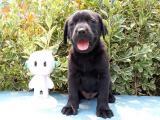 浙江宁波 拉布拉多幼犬一般多少钱