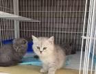 杭州本地家庭猫舍繁殖渐层猫咪、白色健康保障
