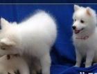 小小的小型犬活泼可爱的银狐犬是尖嘴的,小狗是自己家