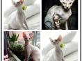 斯芬克斯猫无毛猫加拿大无毛猫蓝眼宠物猫咪活体纯种