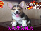 精品纯种威尔士柯基幼犬哪里有两色三色签合同有保障