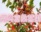 台湾大果桑葚苗易种易管、高产、采摘园