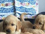 家里大狗下的一窝金毛犬幼犬找有缘人领养一窝多只挑选