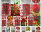 万寿菊种子多少钱一斤
