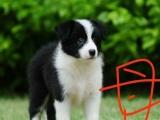 售纯种边境牧羊犬2公2母
