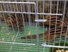 金花松鼠兔子荷兰鼠仓鼠出售