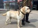 出售纯种拉布拉多犬 拉布拉多幼犬 品质好 质量保证