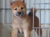 佛山出售日本柴犬纯种幼犬活体宠物狗家庭犬小型犬黑色柴犬幼崽