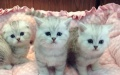 贵阳老牌正规猫舍 短毛猫英短加菲蓝猫美短欢迎上门