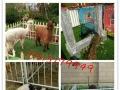 哪里有出租孔雀-矮马-羊驼-骆驼|山东动物租赁公司