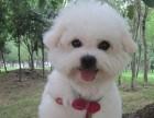 上海犬舍出售 比熊犬实体店 宠物狗狗包退换 送用品