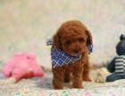 上海哪里有卖泰迪熊,上海哪里有狗场,泰迪图片