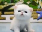 上海哪里有波斯猫卖 纯种 无病无廯 协议质保
