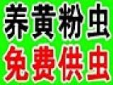 长江养殖超级黄粉虫加盟
