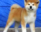 纯种秋田犬价格 纯种秋田犬多少钱