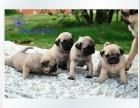 东莞精品高品质巴哥犬幼犬热卖中可签订活体销售协议