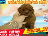 出售精品纯种泰迪幼犬,家养保证健康纯种/疫苗已做好