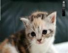猫舍出售纯种英国短毛猫/英短蓝猫/折耳猫英短短毛