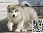 阿拉斯加犬多少钱 阿拉斯加犬多少钱一只 阿拉斯加犬怎么养 阿